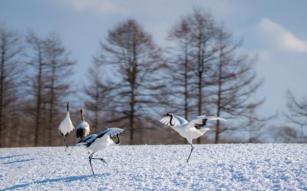 Red-crowned crane in sneeuwlandschap Premium Foto