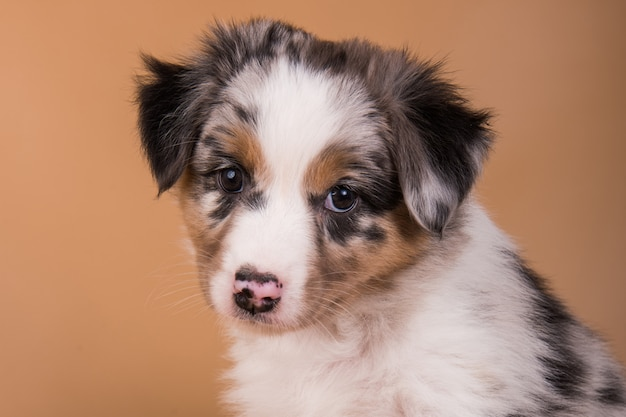 Red merle australian shepherd-puppy, zes weken oud Premium Foto