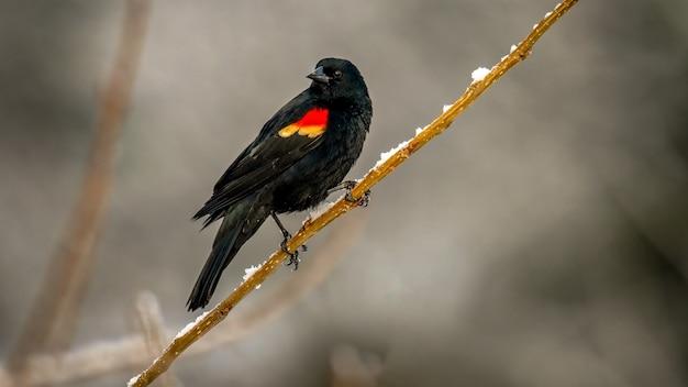 Red winged merel Gratis Foto