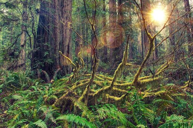 Redwood rainforest Gratis Foto