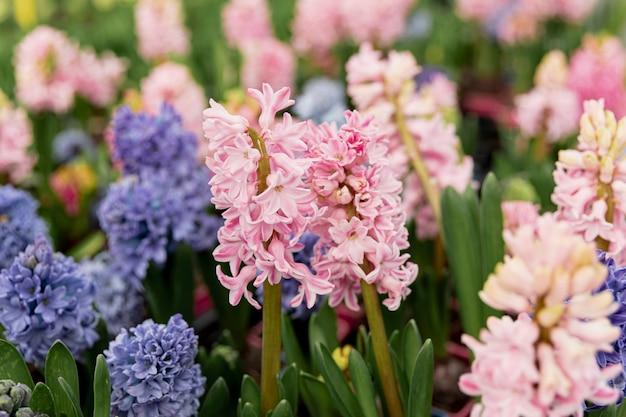 Regeling met kleurrijke hyacinten Gratis Foto