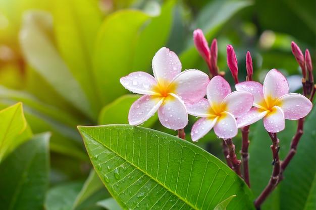Regendalingen op witte plumeriabloemen Premium Foto