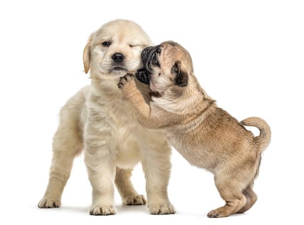 Retriever en pug puppy spelen samen, geïsoleerd op wit Premium Foto