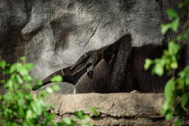 Reuzenmiereneter. latijnse naam - myrmecophaga tridactyla Premium Foto