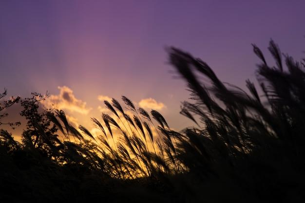 Riet in het veld tijdens de zonsondergang aan de hemel Premium Foto
