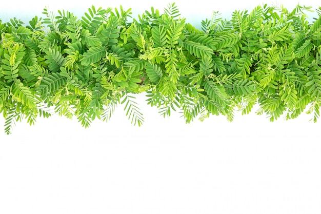 Rij van jonge groene tamarindeboomtakken Premium Foto