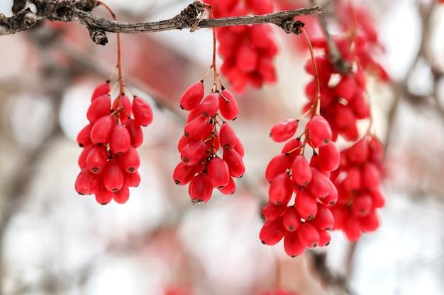 Rijpe rode berberisbessen, berberis vulgaris, tak, herfst, sneeuw Premium Foto