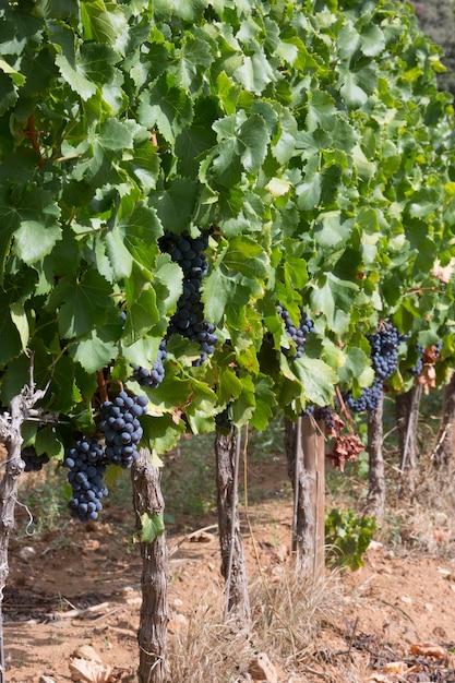 Rijpe wijnstok voor rode wijn in de vallei Premium Foto