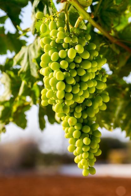 Rijpende groene druiven op een tak voor wijnbereiding Premium Foto