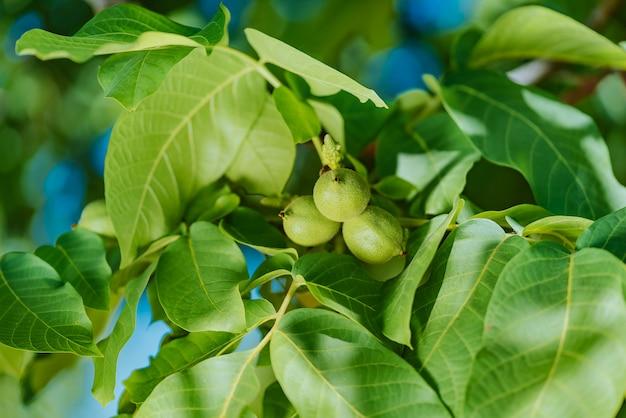 Rijpende groene walnoten op boom Premium Foto