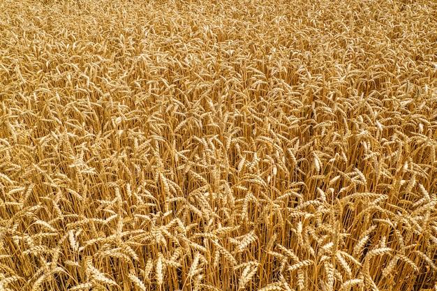 Rijpende oren van weide gouden tarweveld. Premium Foto