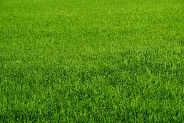 Rijstlandbouwbedrijf in groen oogstseizoen in platteland Premium Foto