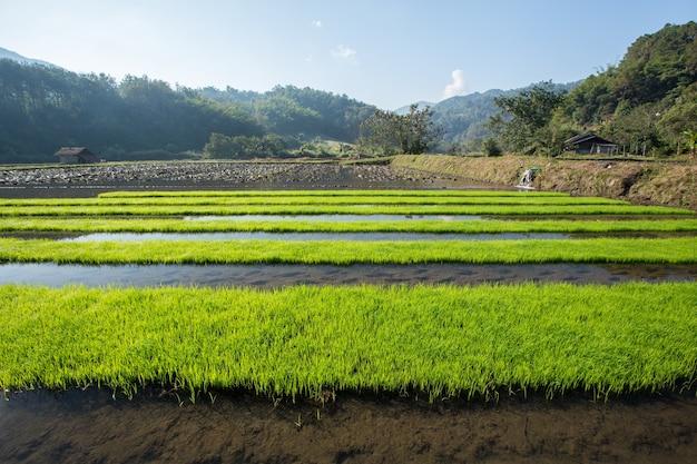 Rijstveld met bergachtergrond in de ochtend Premium Foto