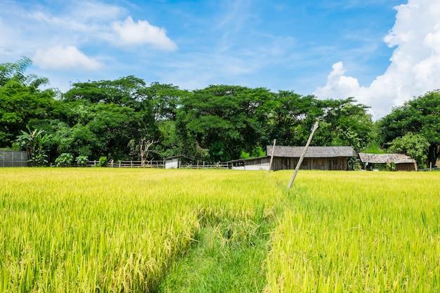 Rijstvelden en de lucht Premium Foto
