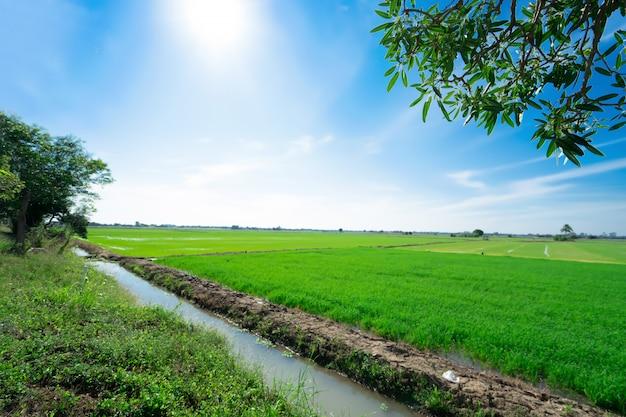 Rijstvelden op met blauwe hemel. het mooie van de natuur Premium Foto