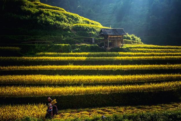 Rijstvelden op terrassen in muchangchai, rijstvelden bereiden de oogst voor in de landschappen van noordwest-vietnam. Premium Foto