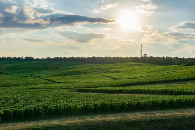 Rijwijnstokdruif in champagnewijngaarden bij montagne de reims, reims, frankrijk Premium Foto