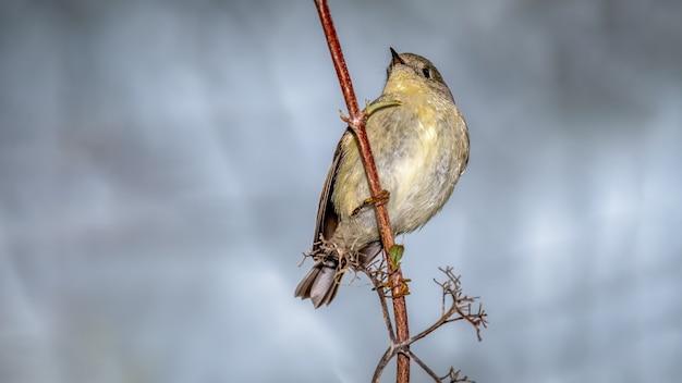 Robijngekroonde kinglet (regulus calendula) Gratis Foto