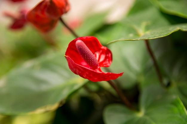 Rode anthurium flowes groene bladachtergrond Premium Foto