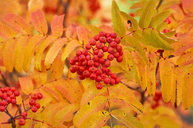 Rode ashberry in de herfst met gele bladeren bij zonsondergang. Premium Foto