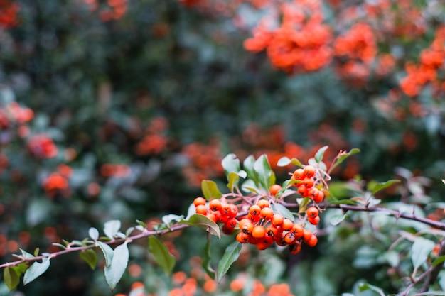 Rode bessen van coccinea van pyracantha in de herfst Premium Foto