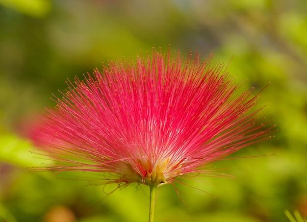 Rode bloem met netelige bloemblaadjes Gratis Foto