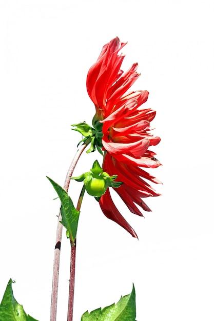 Rode dahlia op witte achtergrond Premium Foto