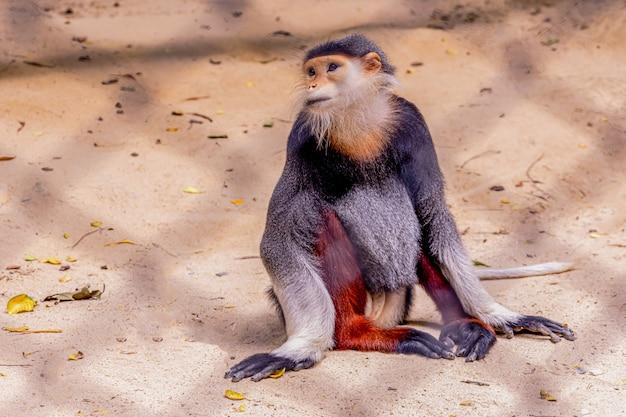 Rode douc langur / pygathrix nemaeus / een soort aap Premium Foto