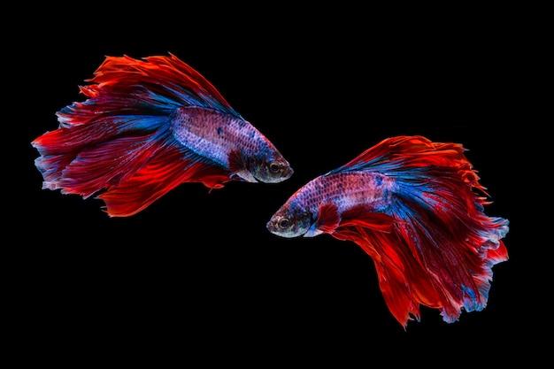 Rode en blauwe bettavissen, siamese het vechten vissen op zwarte achtergrond Premium Foto