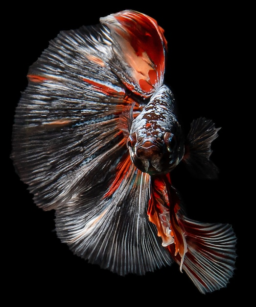 Rode en oranje siamese het vechten vissen Premium Foto