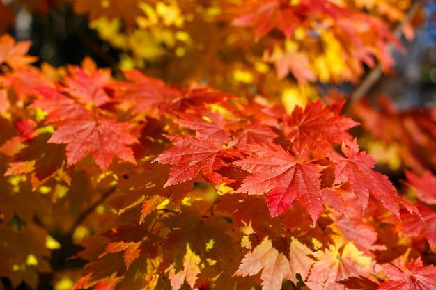 Rode esdoornbladeren in de herfstseizoen met blauwe hemel vage achtergrond. Premium Foto