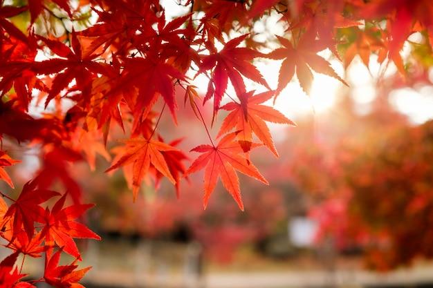 Rode esdoornbladeren in gangtuin met vaag zonlicht Premium Foto