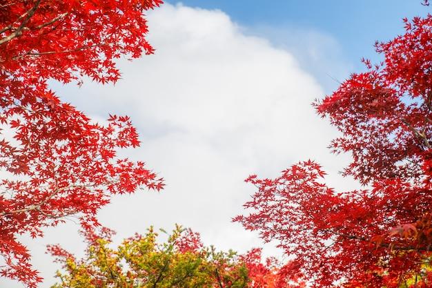 Rode esdoornbladeren op de achtergrond van het de herfstseizoen Premium Foto