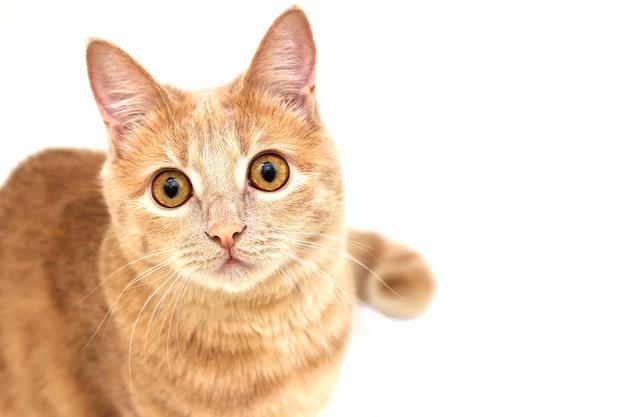 Rode kat die omhoog geïsoleerd op wit kijkt Premium Foto