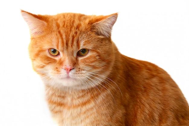 Rode kat die op een witte achtergrond wordt geïsoleerd Premium Foto