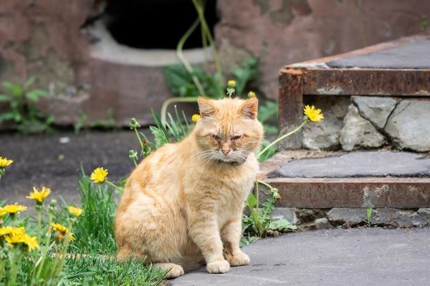 Rode kat met pijnlijke ogen Premium Foto