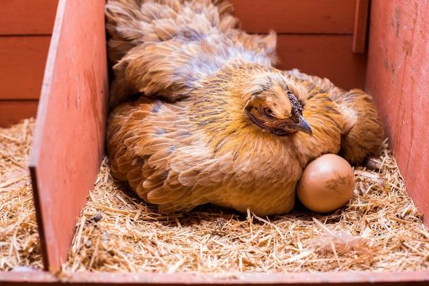 Rode kip leggen met eieren in zijn kooi | Premium Foto