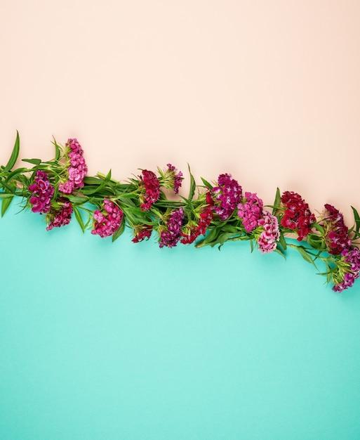 Rode knoppen bloeiende turkse anjers dianthus barbatus Premium Foto