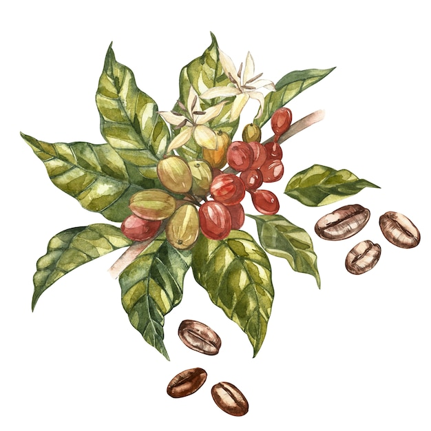 Rode koffiearabica bonen op tak met geïsoleerde bloemen, waterverfillustratie. Premium Foto