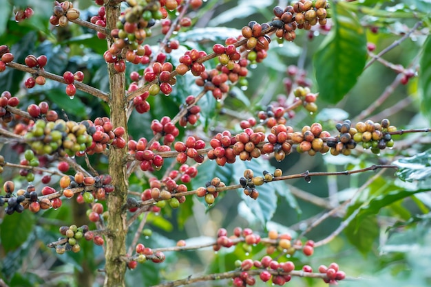 Rode koffiebonen op de boom. Premium Foto