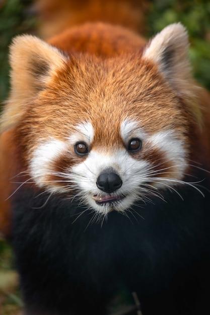 Rode panda close-up Premium Foto