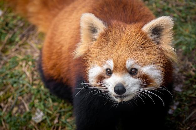 Rode panda Premium Foto