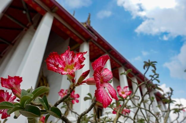 Rode petunia in tempel Premium Foto