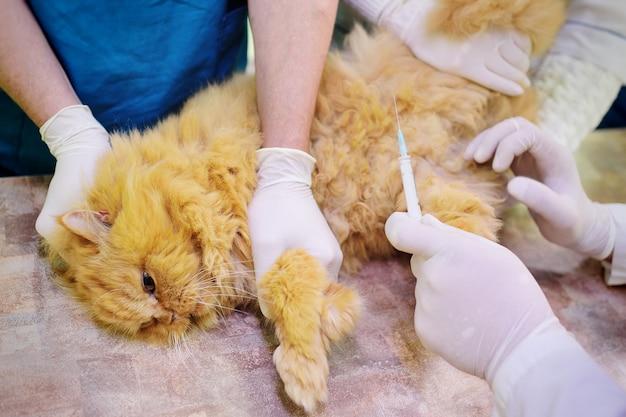 Rode pluizige kat op onderzoek in een veterinaire kliniek. Premium Foto
