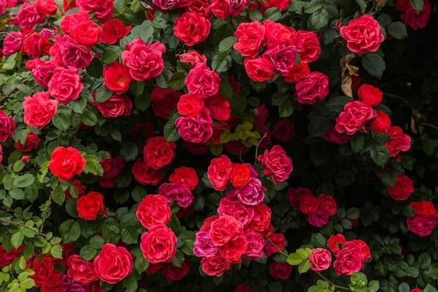 Rode rozenstruik groeit in park Premium Foto