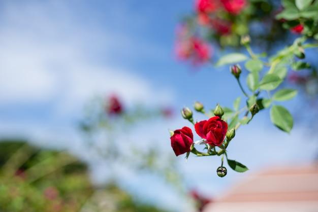 Rode rozenstruik in de tuin, struik van rode rozen tegen de blauwe hemel Premium Foto
