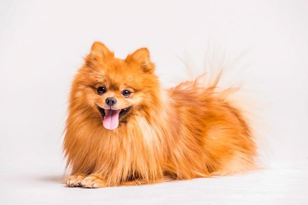 Rode spitz hond die op witte achtergrond wordt geïsoleerd Gratis Foto