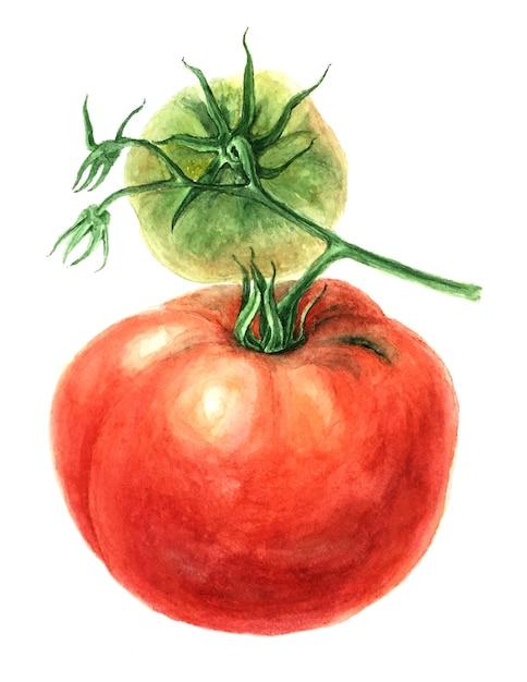Rode tomaat tak vintage aquarel botanische illustratie Premium Foto