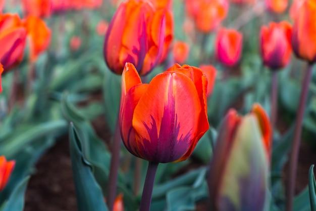 Rode tulp bloemen in de tuin Premium Foto
