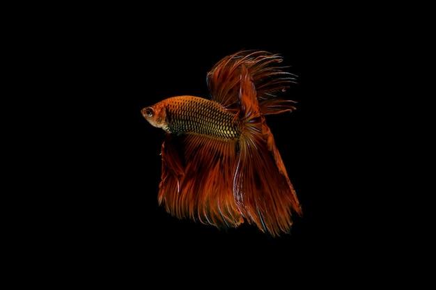 Rode vechten vis geïsoleerd op zwart. Premium Foto